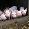Африканская чума свиней вновь наступает на регион — в Лихославльском районе уже образовалось «белое пятно»