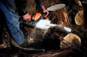 В Спирово «черному лесорубу» за 8 спиленных деревьев дали 2,5 года колонии