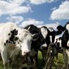 Дает корова молоко?..