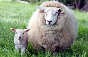 В Лихославльском районе у овец обнаружили опасную неизлечимую болезнь