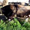 В Торжке появилась корова с пятью ногами