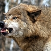 Под Торжком обнаружен бешеный волк