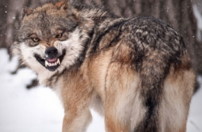 Под Торжком застрелили бешеного волка
