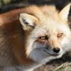 В Лихославльском районе обнаружена бешеная лиса