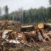 Попытка лихославльского «черного лесоруба» уйти от ответственности закончилась неудачей