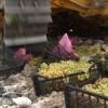 В Тверской области пустили под трактор санкционный виноград