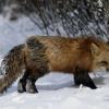 В Лихославльском районе подстрелили бешеную лисицу
