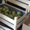 В Волочке раскатали трактором 378 килограмм санкционных яблок, груш и помидоров