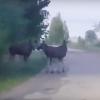 По Торжку свободно гуляют дикие лоси (видео)