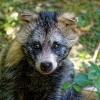 В Лихославльском районе убили бешеную енотовидную собаку