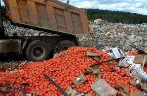 В Тверской области пустили под трактор почти 20 тонн помидоров (фото)