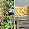 На рынке в Спирово обнаружены вредные карантинные организмы
