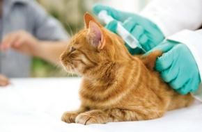 18 и 19 сентября в Калашниково будет проводится бесплатная вакцинация собак и кошек против бешенства