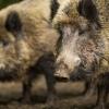 В Лихославльском районе выявлены нарушения в борьбе с африканской чумой свиней
