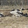 Власти привлекут к ответственности фермера-живодера, трупы 35-ти погибших коров сожгут