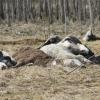 Прокурор потребовал возбудить уголовное дело против фермера, заморившего голодом до смерти более 40 коров