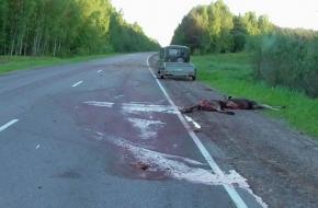 В Тверской области водитель иномарки сбил лося и попал в больницу, лось погиб (фото 18+)
