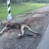 В Тверской области в аварии с лосем погиб 19-летний водитель