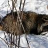 В Лихославле поймали бешеную енотовидную собаку
