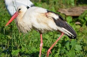 Найденного в Лихославльском районе аиста со сломанным крылом спасли