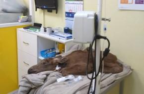 В Лихославльском районе спасли двух лосят-сирот