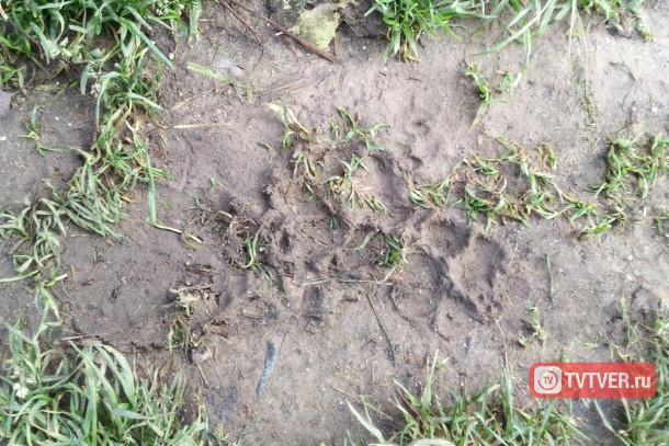 Следы неизвестного зверя. Фото: tvtver.ru