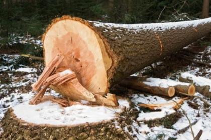 Спировскому «черному лесорубу» ворованный лес обошел по 22 тысячи за ёлку