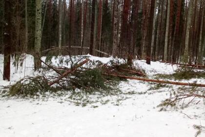 В Лихославльском районе аномальная оттепель «переломала» деревья как спички в охраняемой лесопарковой зоне. Фото: Андрей Ионов